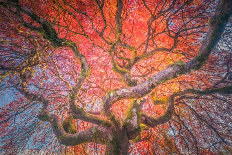 The old Japanese maple in autumn colors. The photograph of a very old Japanese maple in autumn colors stock photo