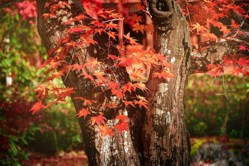 Old Japanese maple Tree in Autumn stock images