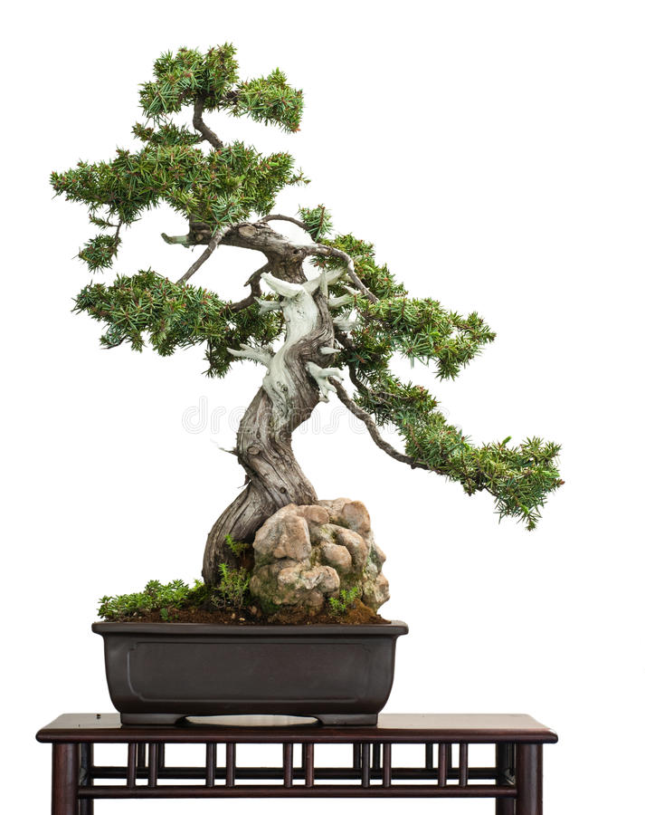 Old Juniper (Juniperus rigida) as bonsai tree royalty free stock photo