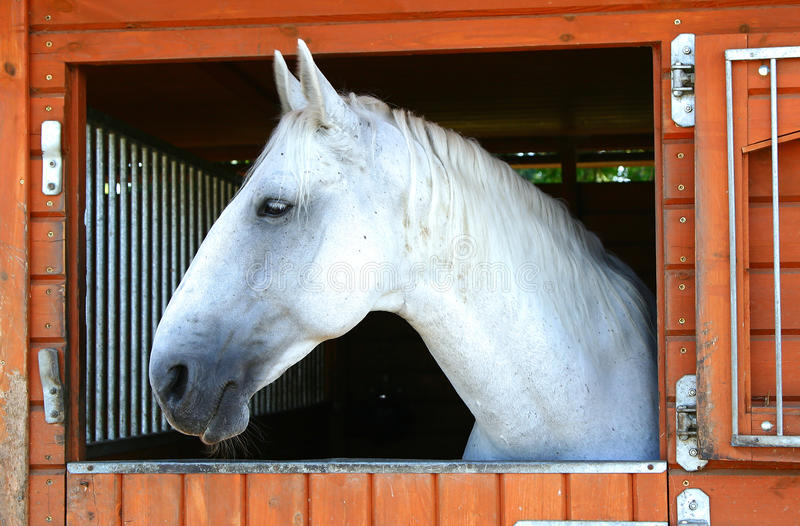 Old Kladruby horse in stable royalty free stock photo