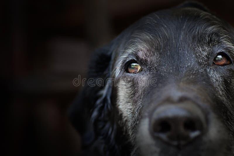 Old labrador retriever. Animal - Old dog. labrador retriever macro shot with copyspace stock image