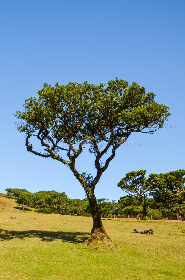 Old laurel tree in Fanal, Madeira Island, Portugal. Fanal is located in the plateau of Paul da Serra surrounded by the Laurissilva royalty free stock image