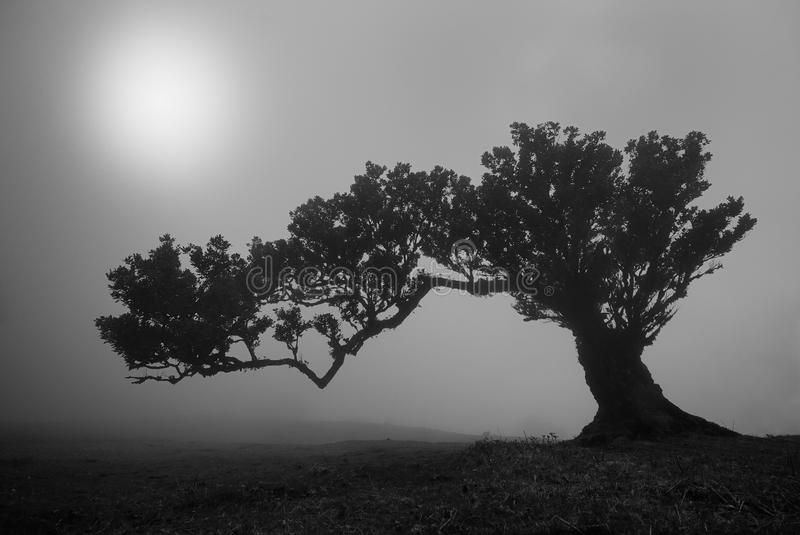 Old laurus tree on foggy madeira royalty free stock photos