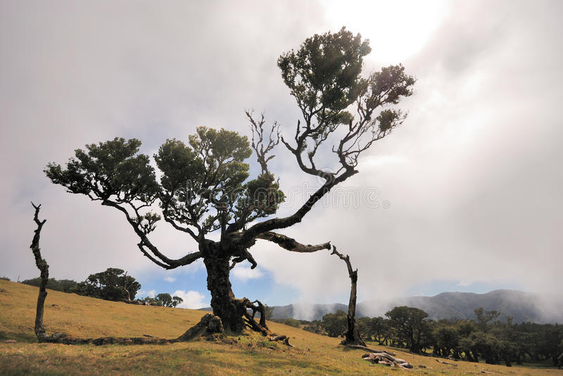 Old laurus tree on madeira royalty free stock images