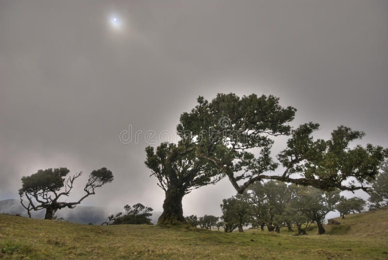 Old laurus trees on foggy madeira royalty free stock photography