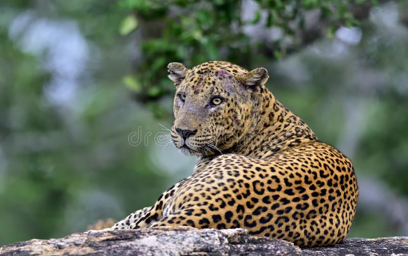 Old Leopard male on a stone. royalty free stock photo