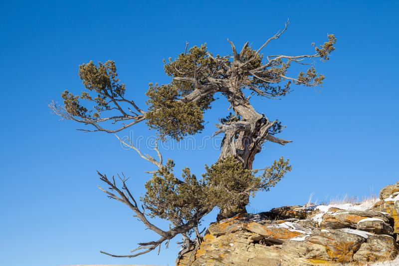 An old limber pine growing on a rocky outcrop in southern Alberta, Canada. In winter stock image
