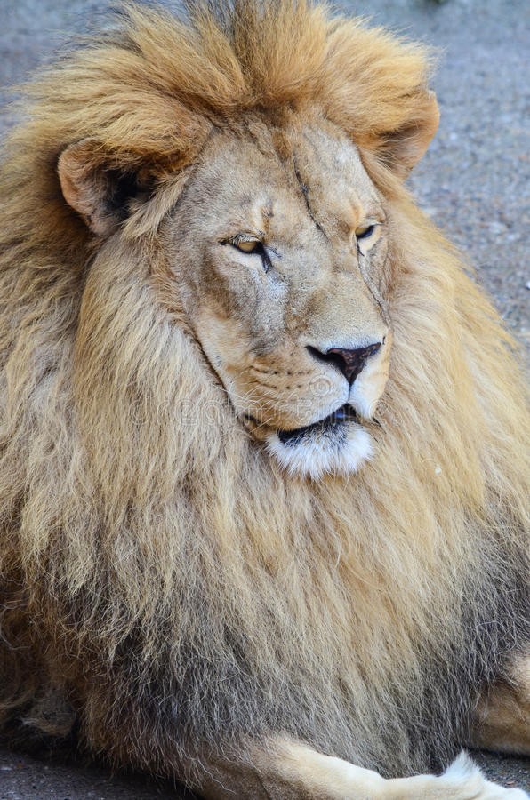 Download Old lion stock image. Image of albino, predator, intense - 35739133