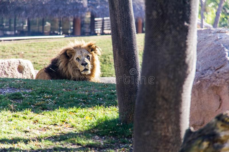An old lion laying on the grass stock photos