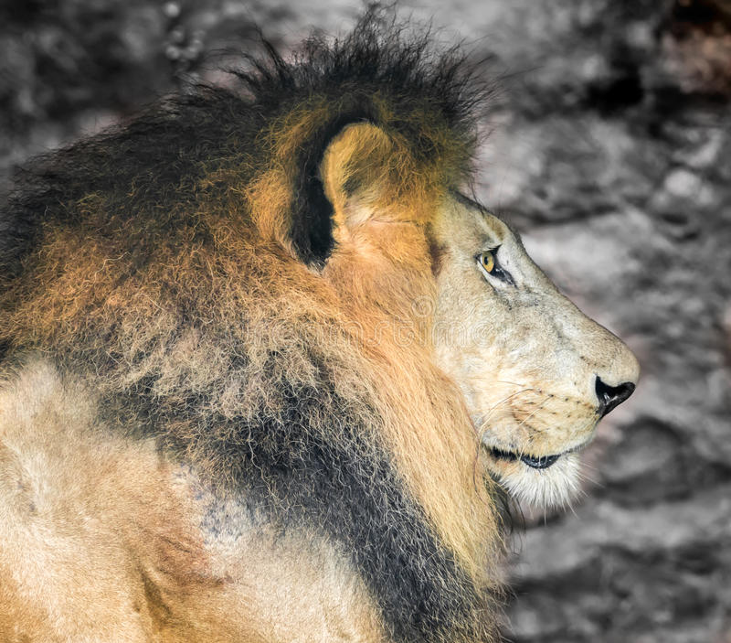 Old Lion, Side View Stock Images - Image: 36531714