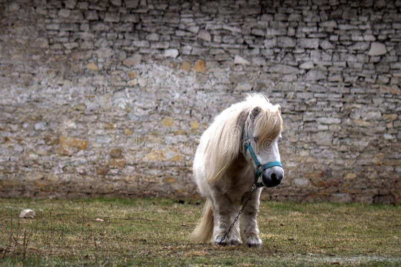 The old little pony rescued from the slaughterhouse end up in the peace of the end. stock photography