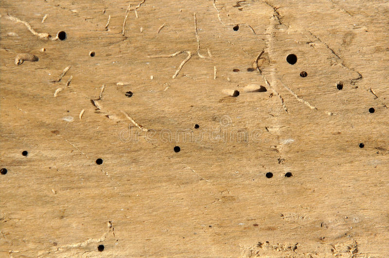 Old log with woodworm holes. And burrows created by beatles Anobium punctatum royalty free stock image