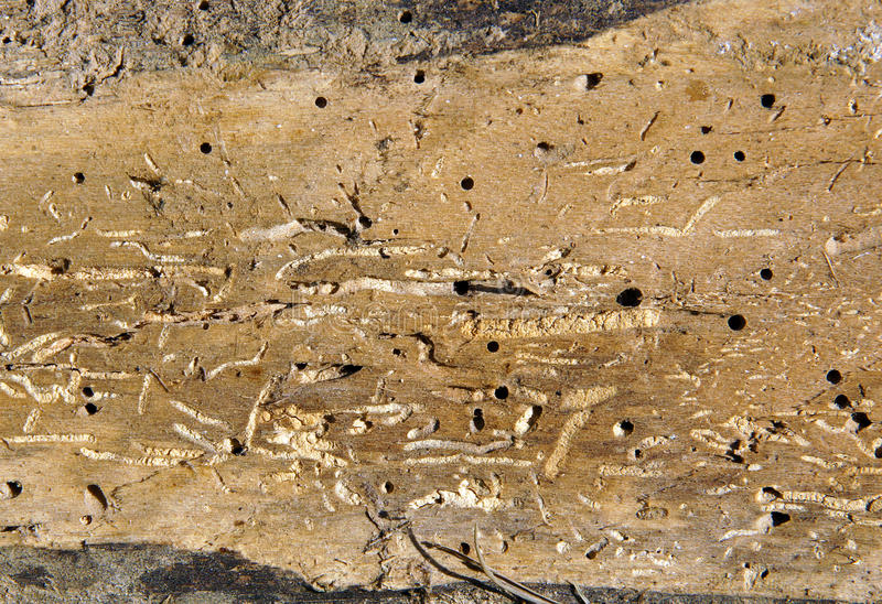 Old log with woodworm holes. And burrows created by beatles Anobium punctatum stock images
