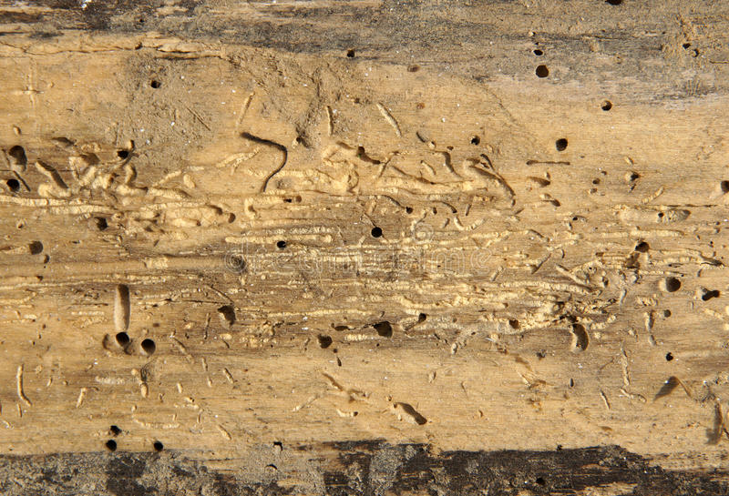Old log with woodworm holes. And burrows created by beatles Anobium punctatum royalty free stock photos