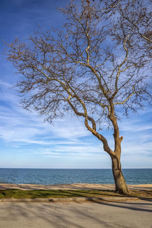 An old lonely tree at the seashore. royalty free stock image