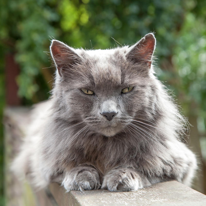 Gray Fluffy Cat With Orange Eyes