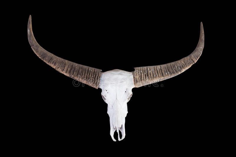 Old long horn buffalo skull stock photo