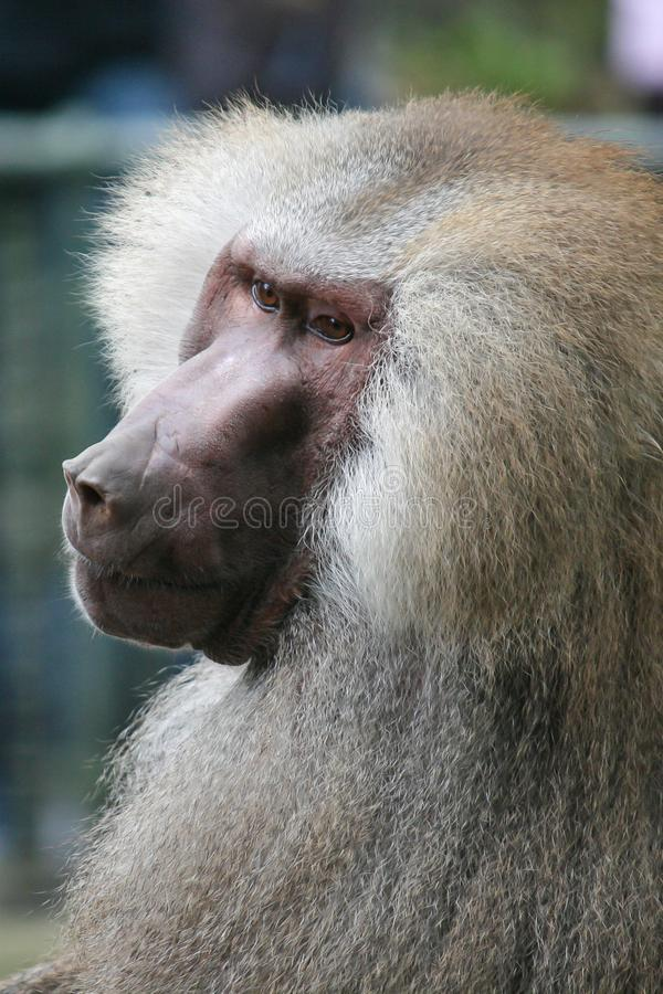 Old male baboon royalty free stock photos