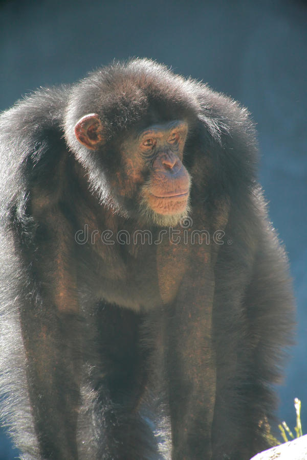 Download Old male chimpanzee stock image. Image of lonely, wild - 13195109