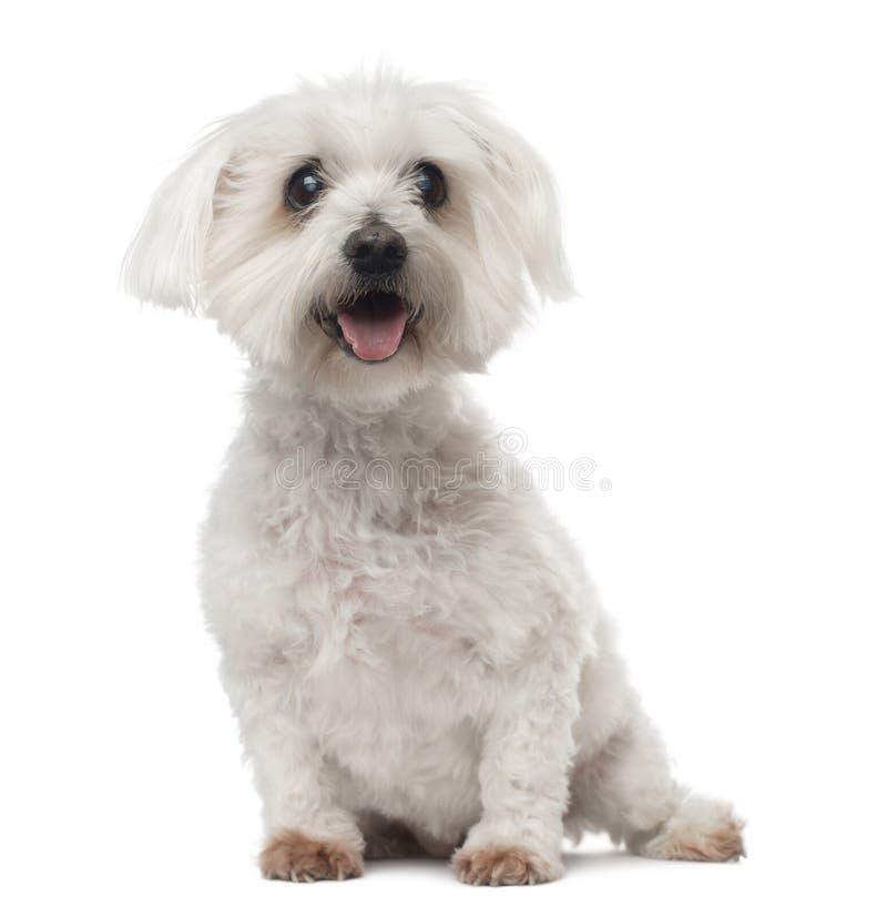 Old Maltese dog with cataract, sitting, panting
