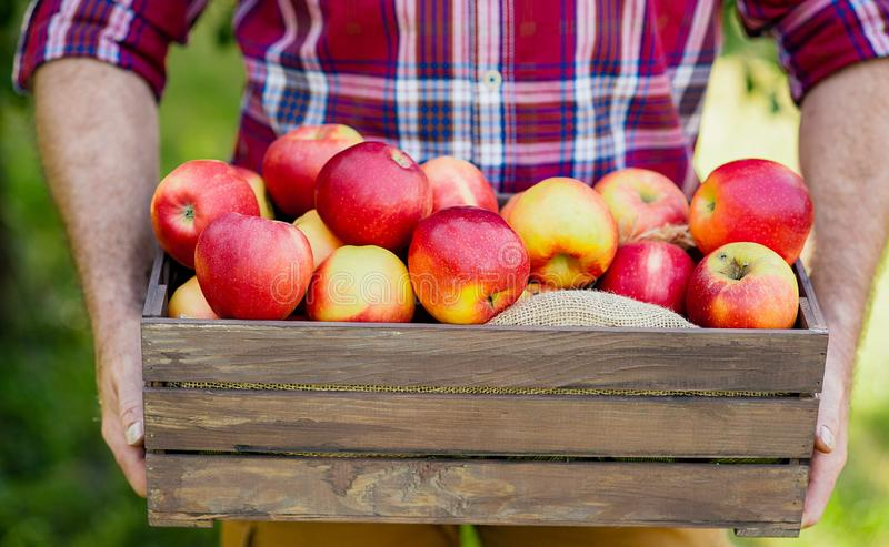 Old man with Apple in the Apple Orchard. Old man with Apple in the Orchard. Grandfather with fruit in the garden. Harvest Concept. Garden, fruits at fall harvest royalty free stock image
