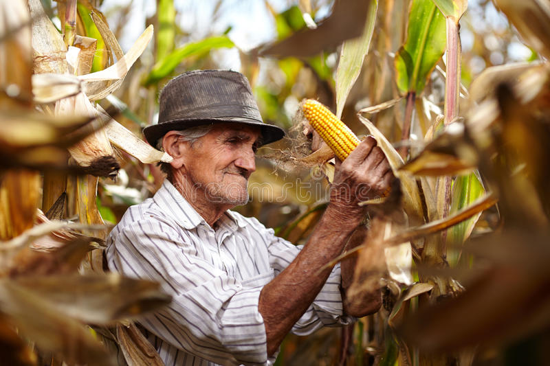 Old man at corn harvest stock images