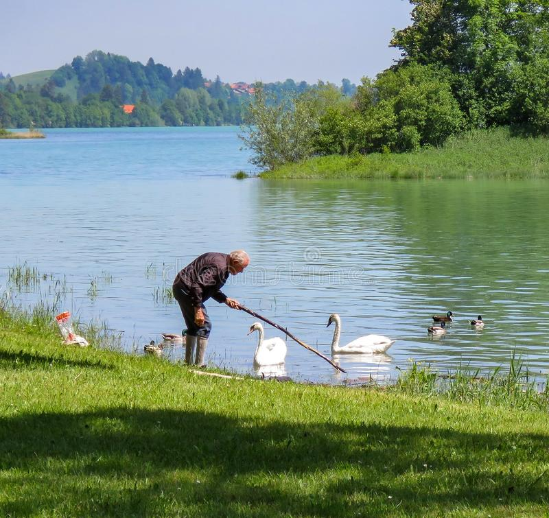 Old man feeding swans royalty free stock image