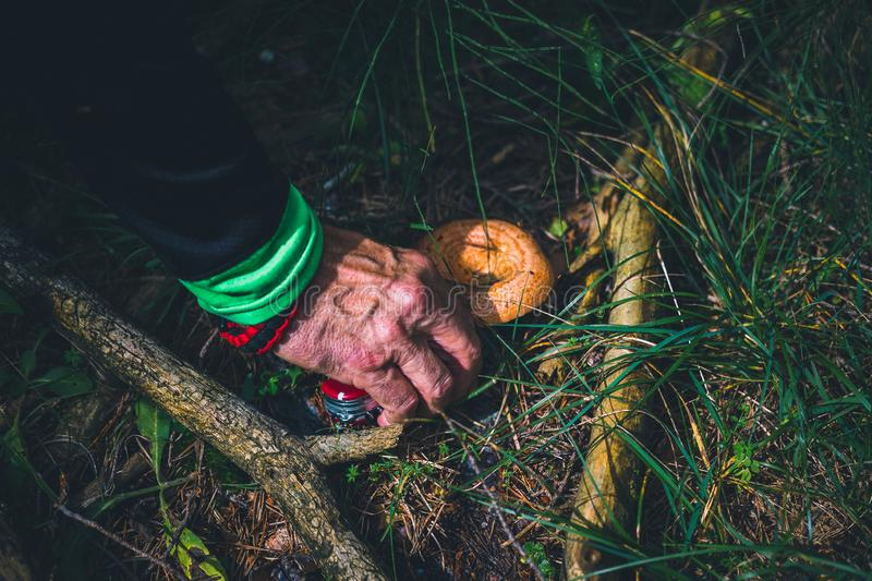 Old man hand picking a bloody milk cap mushroom. With a knife stock photo