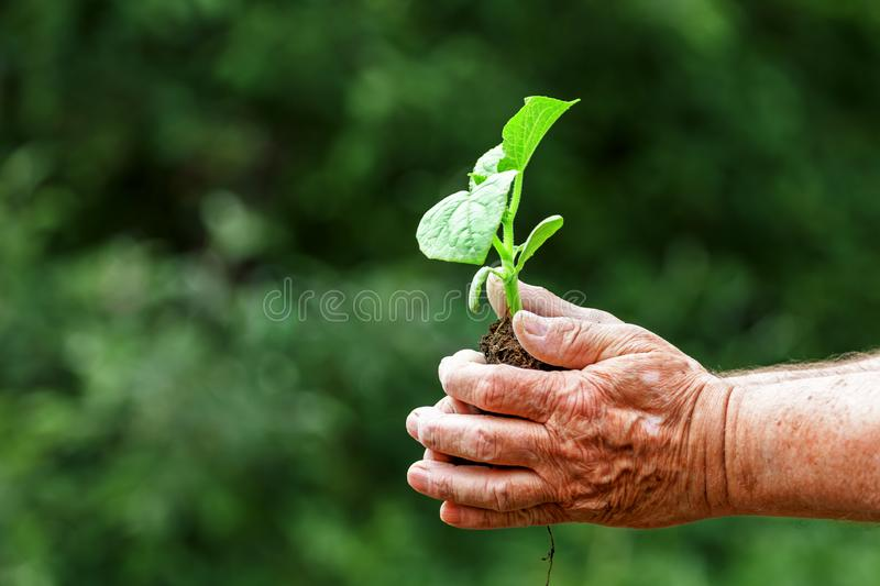 Old man hands holding a green young plant. Symbol of spring, ecology, new life concept. Close-up royalty free stock photography