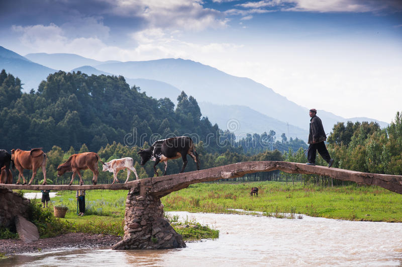 An old man and his cattle teams. A cattle teams were acrossing the bridge be driven with an old herding boy.This scene appeared at Liangshan yi autonomous stock images