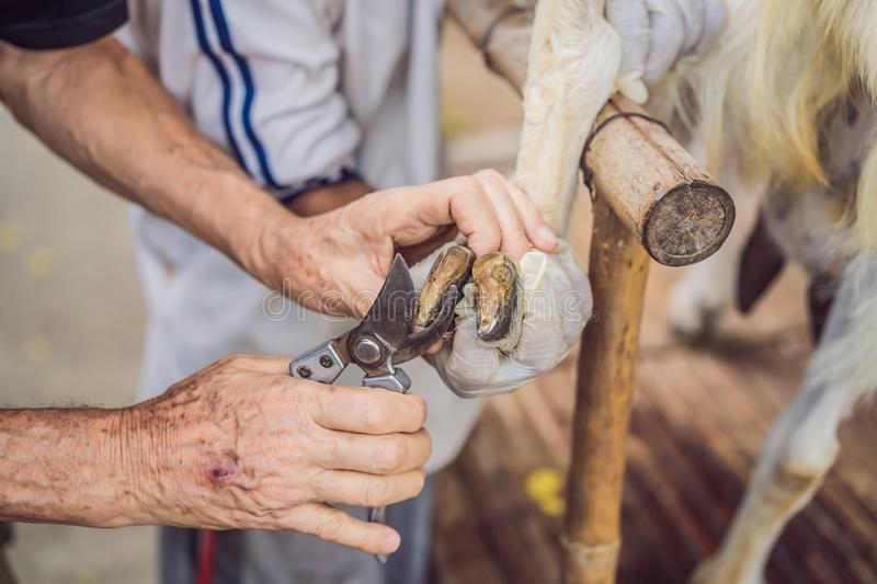 Old man`s hands Trim Goat Hooves on the farm.  royalty free stock photos