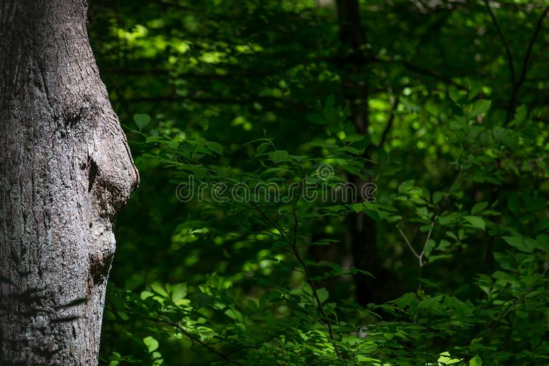 Old Man Tree Looking at Your Presentation. Natural occurring subject and NOT photo shopped. A face amongst the trees gazes upon plenty of copy space and stock photography