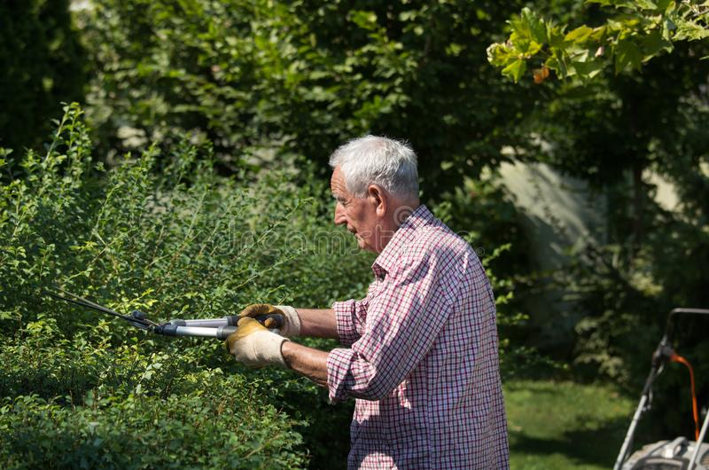 Old man trimming hedge in garden royalty free stock photography