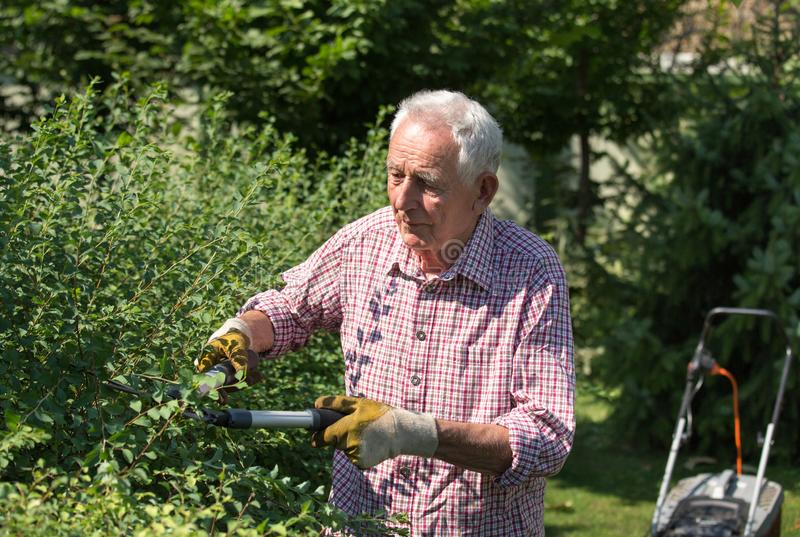 Old man trimming hedge in garden stock images
