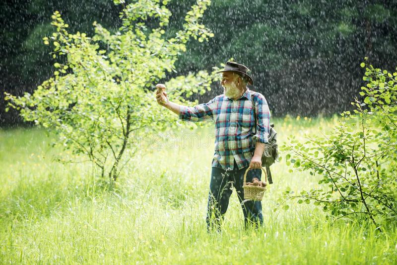 Old man walking in rain. Grandpa Pensioner. Senior hiking mushrooms in rainy forest. Mushroom picker. Bolete in moss in. Forest royalty free stock images
