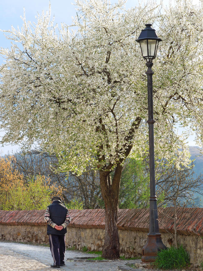 Old man walking under cherry tree royalty free stock images