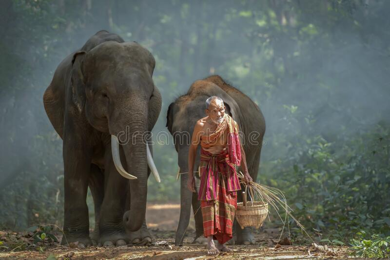 The old man was walking out of the forest with the elephant he raised. Thailand stock images