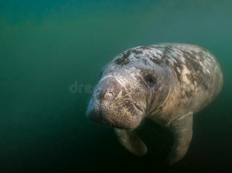 Florida Manatee Portrait. This old Manatee slowly swam up to me and rolled over begging for a belly rub. During the winter, Manatees gather near the warm fresh royalty free stock photography