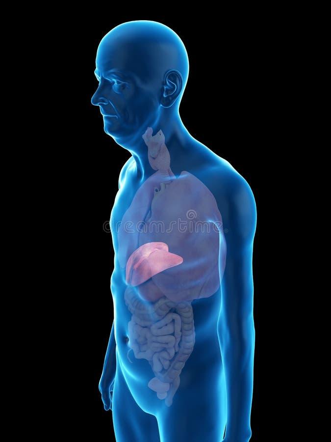 An old mans liver. 3d rendered medically accurate illustration of an old mans liver vector illustration