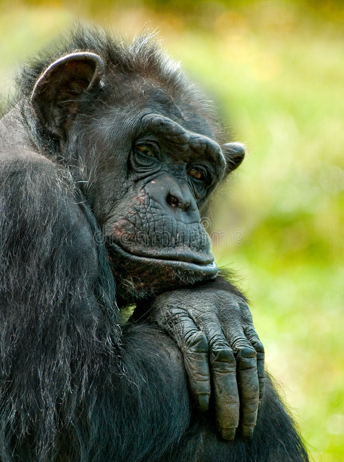 Old matriark. This chimp was looking sooo bored stock images