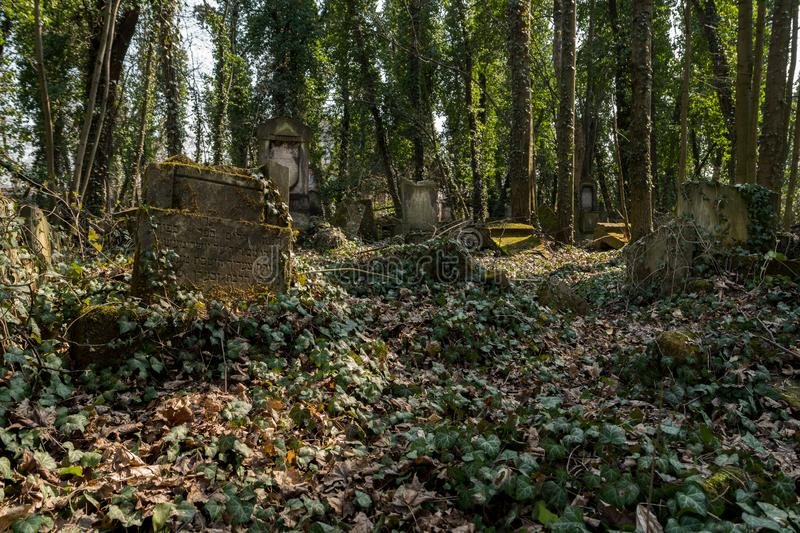 Old matzevah covered with ivy. On jewish cemetery in the city of Czestochowa in Polnad, graveyard, tombstones, poland, historic, religion, religious, death stock photo