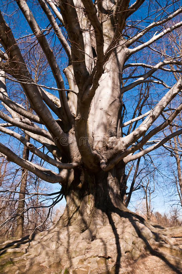 Old mighty beech in the park royalty free stock photos
