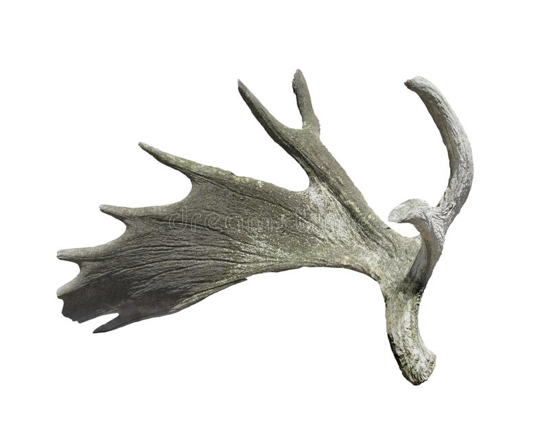 Old moose antler isolated. Old and weathered moose antler. Isolated on white stock photo