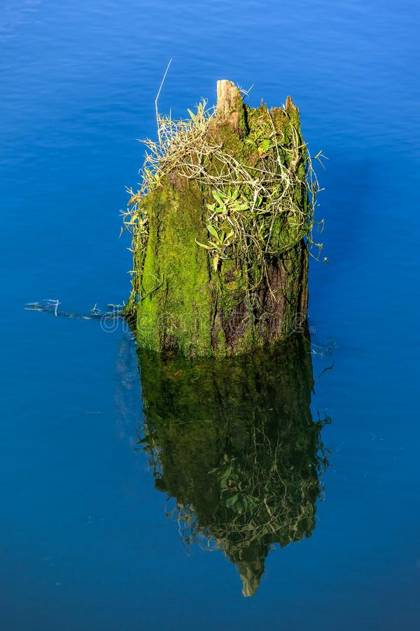 Old moss covered piling in water. stock image
