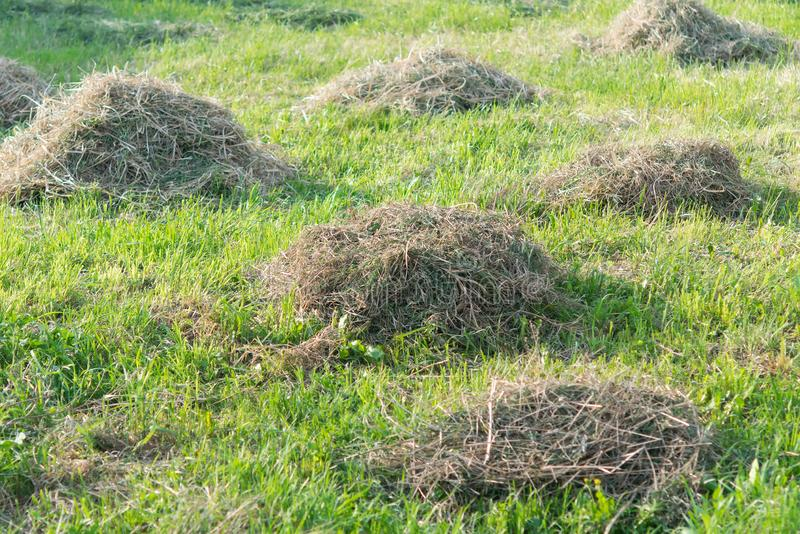 Old mowed grass on a green lawn gathered in small heaps royalty free stock photo