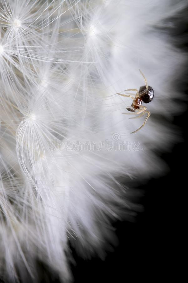 Very Little spider on dandelion  on black background royalty free stock photography