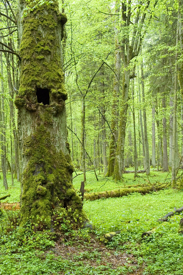 Old natural forest stock photo
