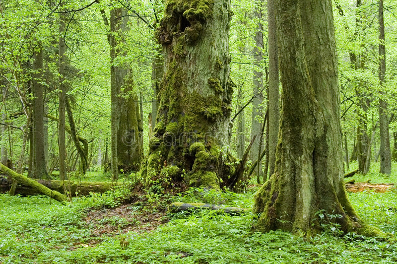 Old natural forest royalty free stock photos
