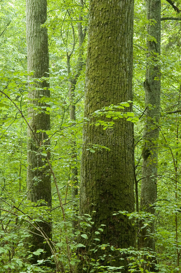 Old natural forest royalty free stock photo
