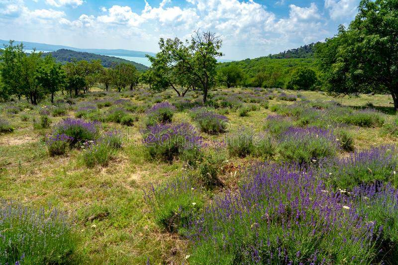 Old natural Levander Field in Tihany Hungary with lake Balaton view. On a hill royalty free stock images